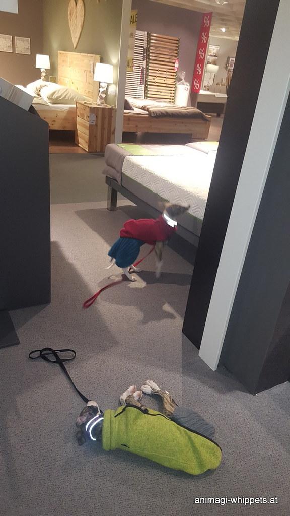 Shoppen für Frauli im Kika Matratzenlager ist sehr anstrengend, es schläft sich außerdem am Boden am besten, weshalb das Frauli eine Matratze kaufen will versteht Whippetwelpi nicht!