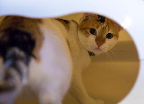 Pepi, gatita tricolor juguetona y mimosa esterilizada, nacida en Octubre´16, en adopción. Valencia. ADOPTADA.  24898760987_bc513a8544