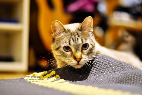 Mambo, gato siamés tabby extrovertido y bueno esterilizado, nacido en Febrero´17, en adopción. Valencia. ADOPTADO. 40167029122_f57aea2be3
