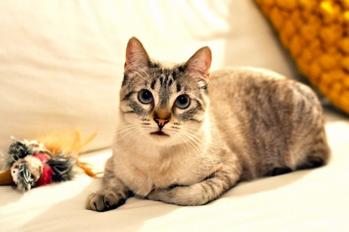 Mambo, gato siamés tabby extrovertido y bueno esterilizado, nacido en Febrero´17, en adopción. Valencia. ADOPTADO. 40167031492_17bb68af03