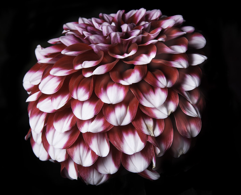 White And Red Dahlia Flower Head I Photographed This Beaut Flickr
