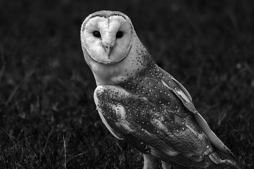 Barn Owl mono | by bidkev1 and son (see profile)
