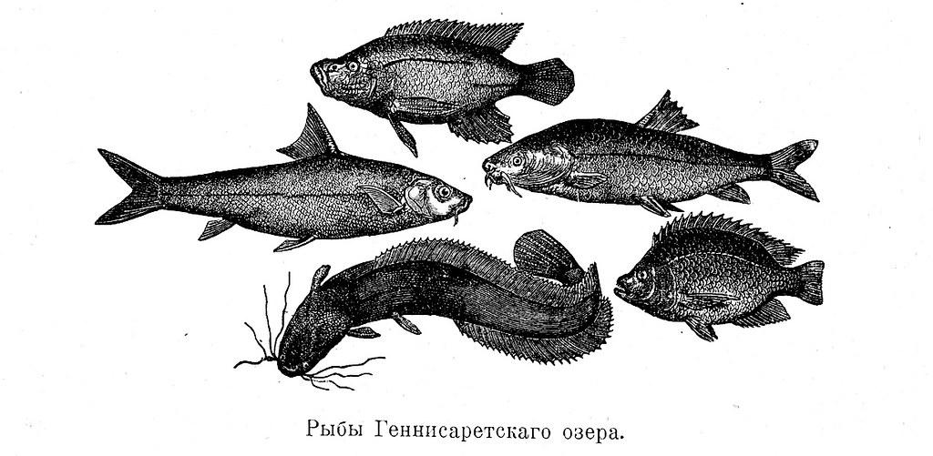 Изображение 39: Рыбы Геннисаретского озера.