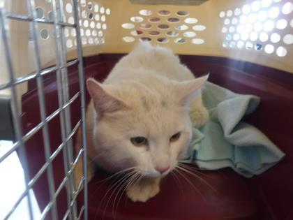 Animal ID 37701478 Species Cat Breed Domestic Shorthair/Mi