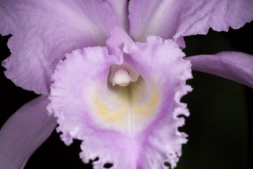 Colombia Cattleya Trianae Fma Concolor Akemi Linden Flickr