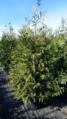 Thuja Green Giant 10 gal 5-6' | by Johnson Farms