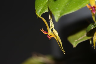 Lepanthes acuminata | by F.K. Pictures