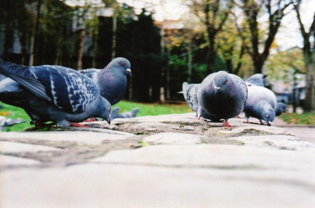 鴿子。圖片來源:Fygget(CC BY-NC-ND 2.0)