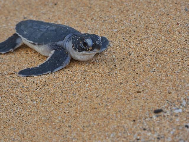 Cría de tortuga marina en Praia Grande (Santo Tomé y Príncipe)