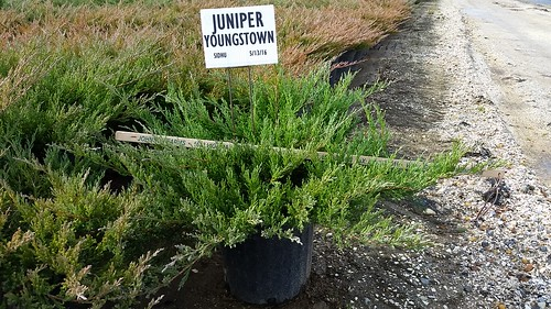 Juniper Youngstown 3 gal 18-24 | by Johnson Farms