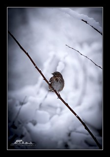 Song Sparrow | by the_coprolite
