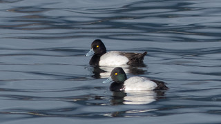 Lesser Scaup | by Sandy McRuer