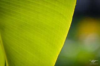 Banana Leaf | by Mai Thanh Tan