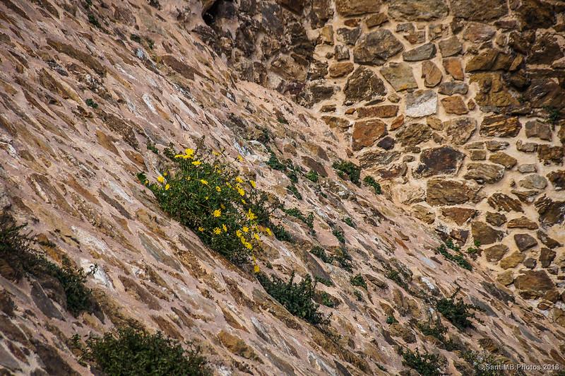 Margaritas amarillas en la muralla del Castell de Montsoriu