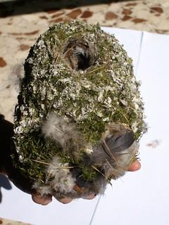 nido codibugnolo