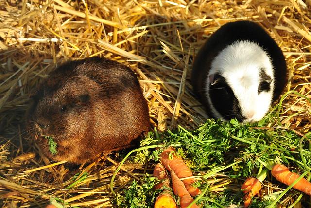 Tierpark Walldorf im Februar 2018 / Foto: Brigitte Stolle - Meerschweinchen beim Frühstück