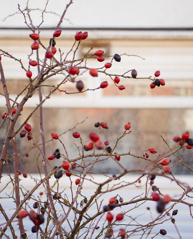 berries on barren bush