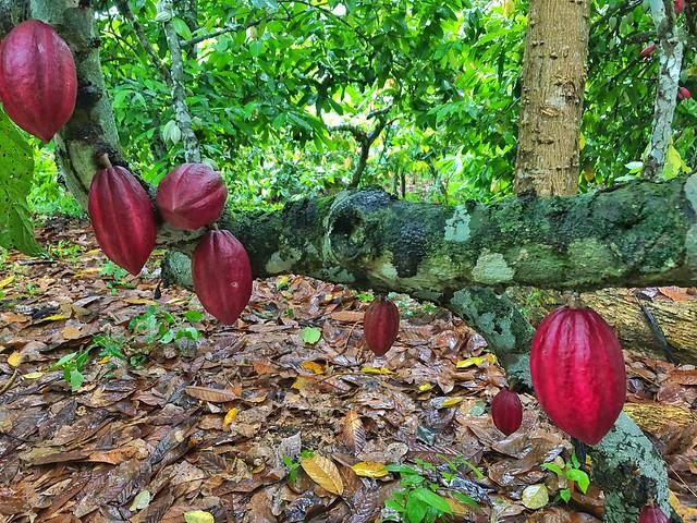 Árbol de cacao en una plantación de Santo Tomé y Príncipe
