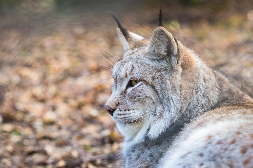 Eurasian Lynx Portrait | The man of the house @ Tierpark ...