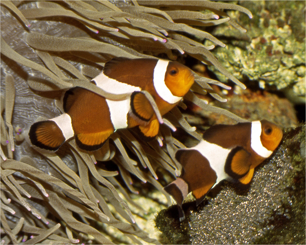 Care eggs by common clownfish pair of common clownfish for Clown fish care