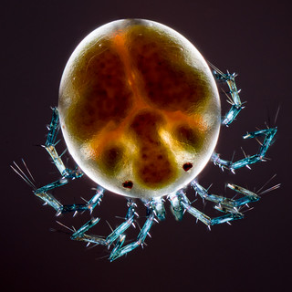 Water Mite | by pwnell