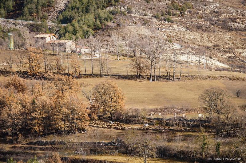 Rebaño de ovejas transitando cerca de la Creu d'Om en Bagà