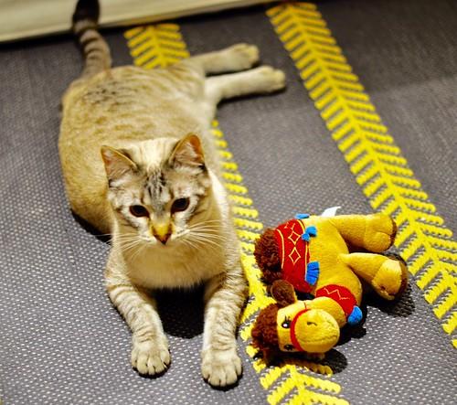 Mambo, gato siamés tabby extrovertido y bueno esterilizado, nacido en Febrero´17, en adopción. Valencia. ADOPTADO. 25328510177_e6115f7edf