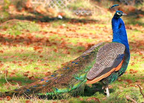 Indian Peafowl (Male) | by Jewill16