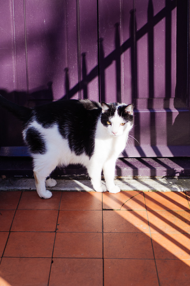 black and white cat in front of purple door