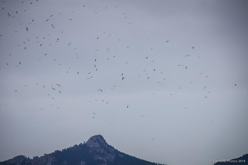 Gaviotas volando frente a la sierra de Queralt