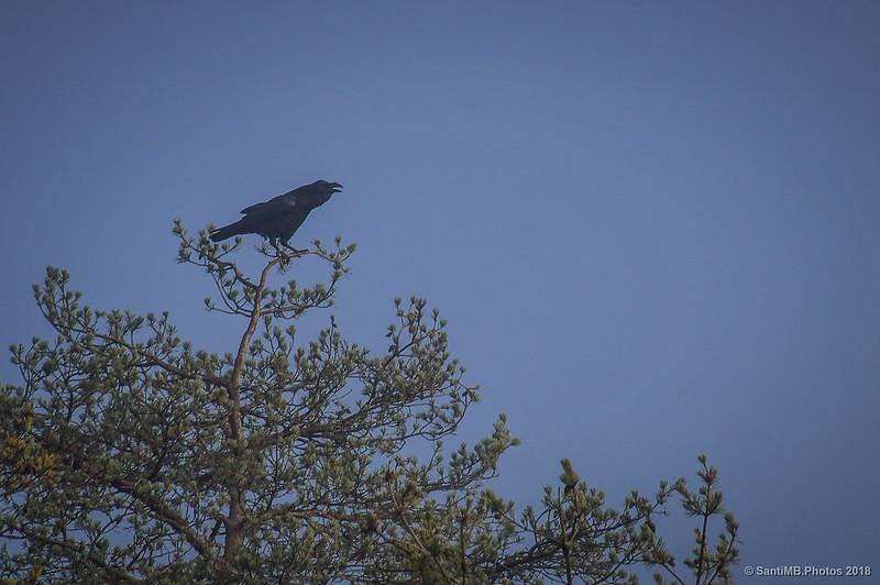Cuervo graznando