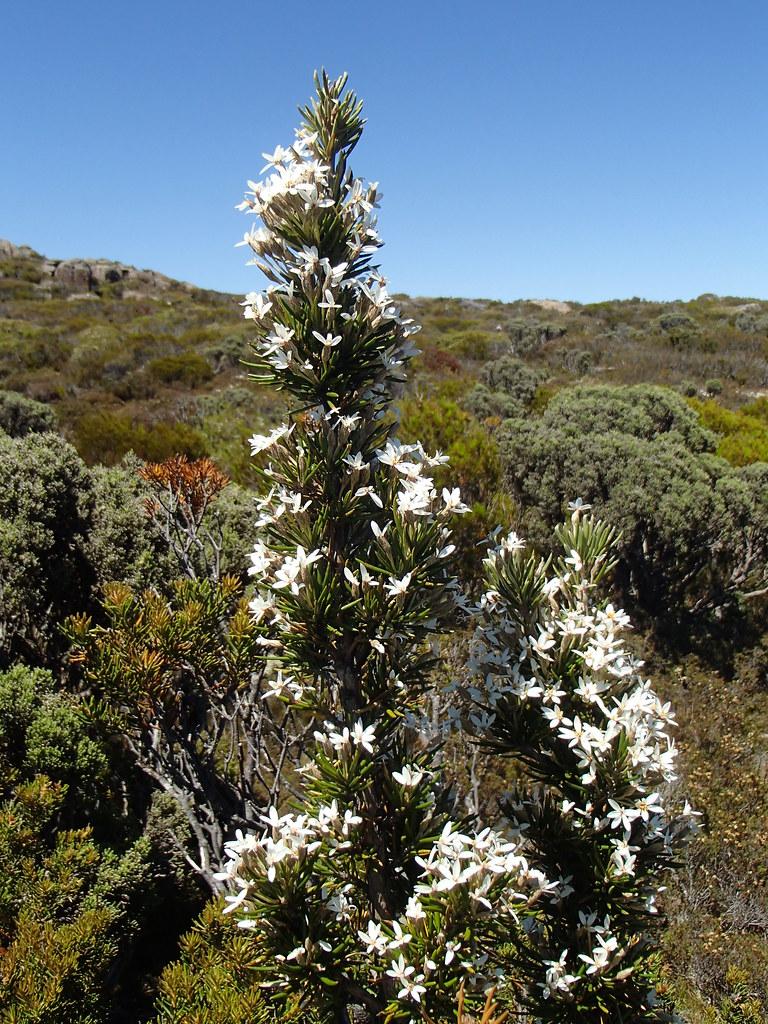Olearia pinifolia at Pine Lake (i)   The endemic Olearia pin…   Flickr