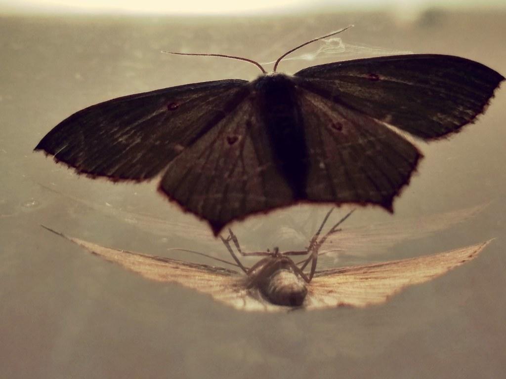 Mirrorbutterflynightabout To Sleepreflectionimage Flickr