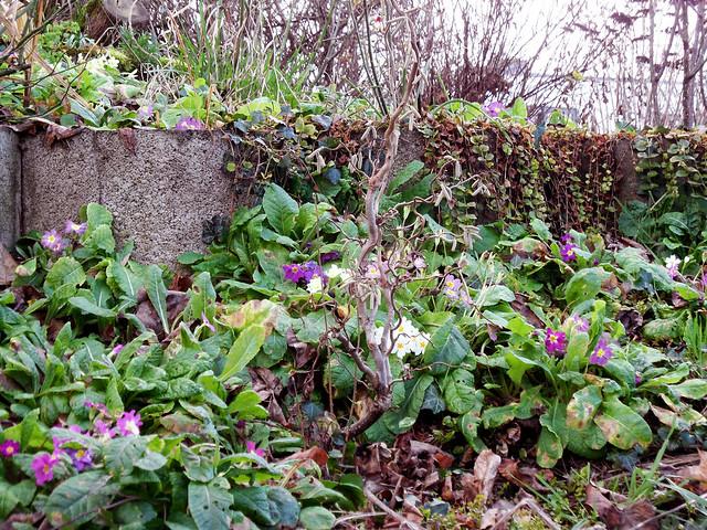 Blumenbeet mit blühenden Primeln