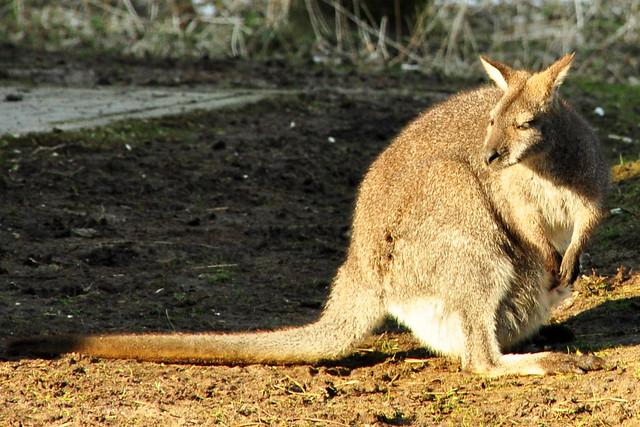 Tierpark Walldorf im Februar 2018 / Foto: Brigitte Stolle - Känguru