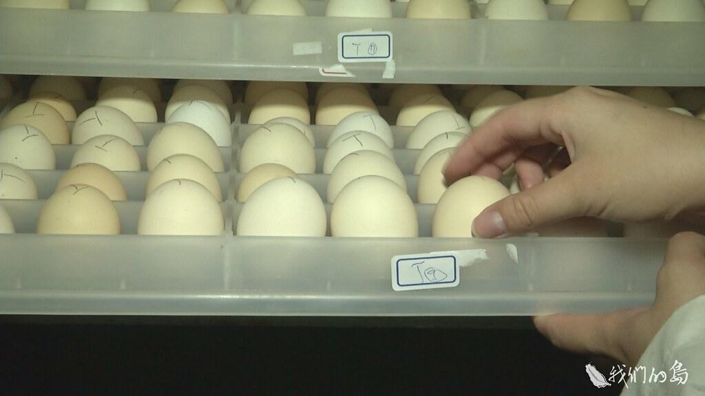 939-1-49收集種蛋,依照家族,標上編號,分別孵化,再幫剛孵化的小雞別上翼標,也就是雞的身分證。