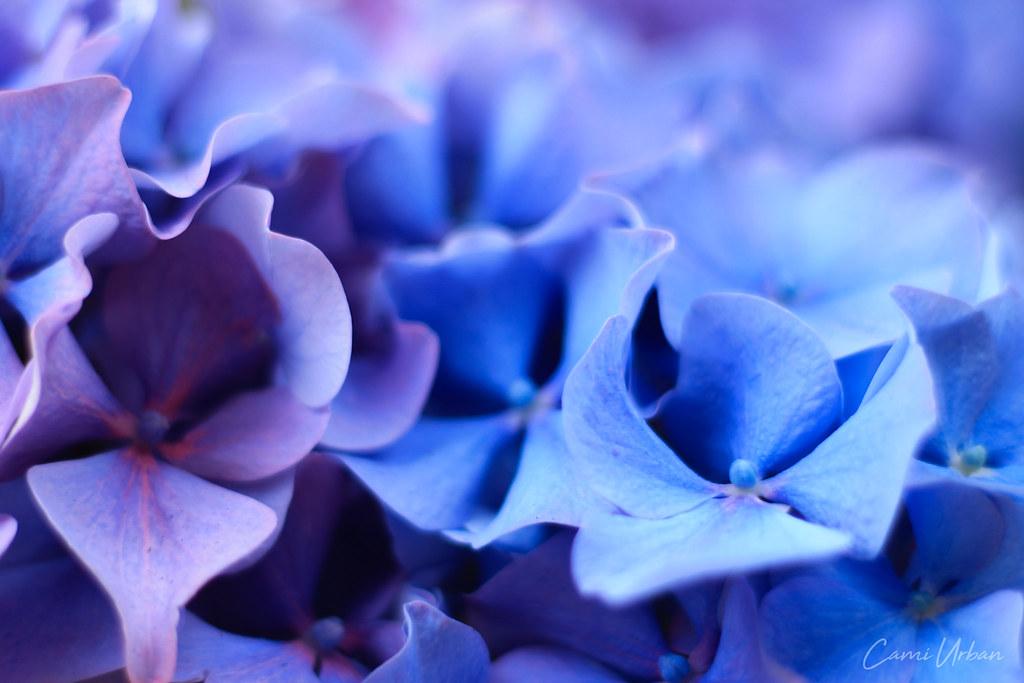 El Color De Las Hortensias 1 Hortensias En El Campo De T Flickr - Color-de-las-hortensias