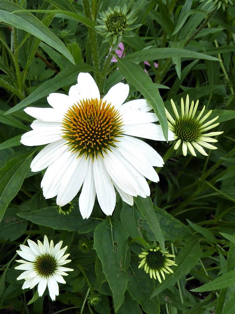 Wheaton Il Cantigny Park White Cone Flowers Mary Warren Flickr