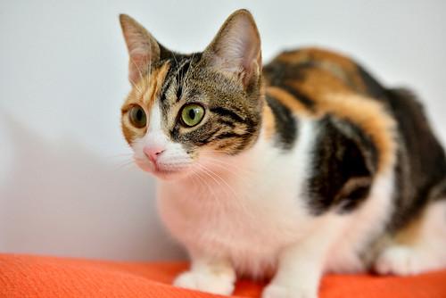 Freya, guapísima y activa gata tricolor jaspeada tabby esterilizada nacida en Mayo´16 en adopción. Valencia. 39054480004_4faf84d930