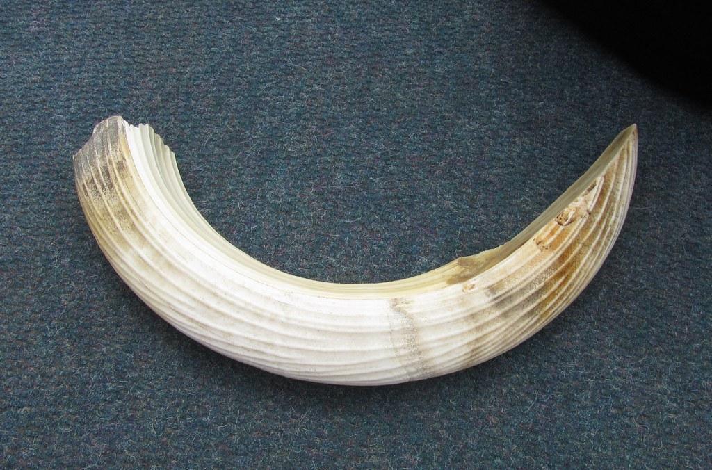 河馬牙齒。Carol Tanzola(CC BY-NC-ND 2.0)