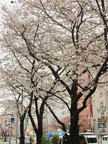 2018.3.22 桜 明治通り 広尾付近