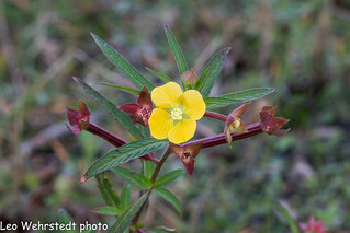 20180311wild-flower-florida_MG_6137 | by Leo Wehrstedt
