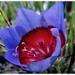 Lovely mauve coloured flower of Papaver somniferum
