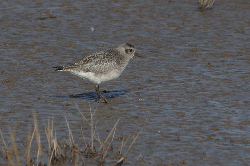 IMGP0308a Grey Plover, Titchwell, February 2018 | by bobchappell55