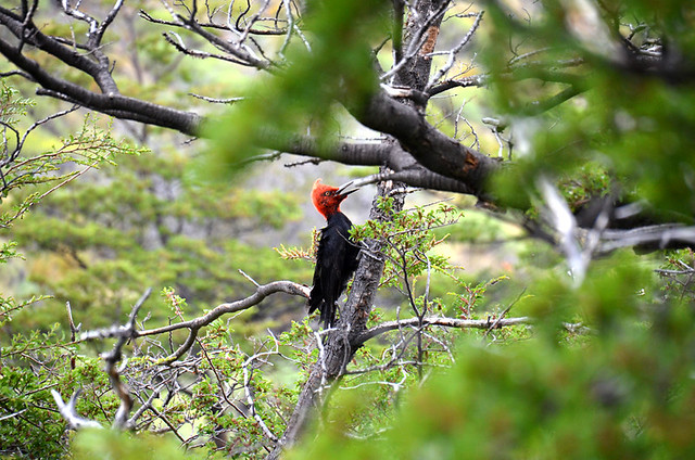 Magellanic woodpecker in Parque Patagonia, Chile