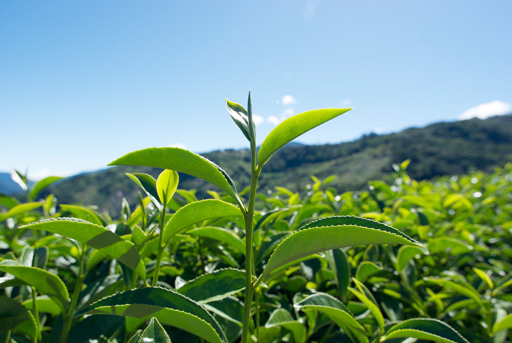 新佳陽梨山茶 - 梨山茶最大特色是成茶外觀色澤翠綠