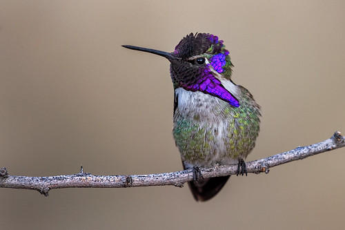 Costa's Hummingbird | by Eric Gofreed