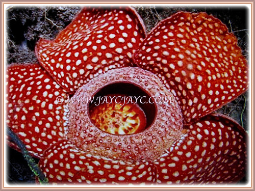 Rafflesia arnoldii is a flowering plant noted for producing the largest individual flower on earth | by jayjayc