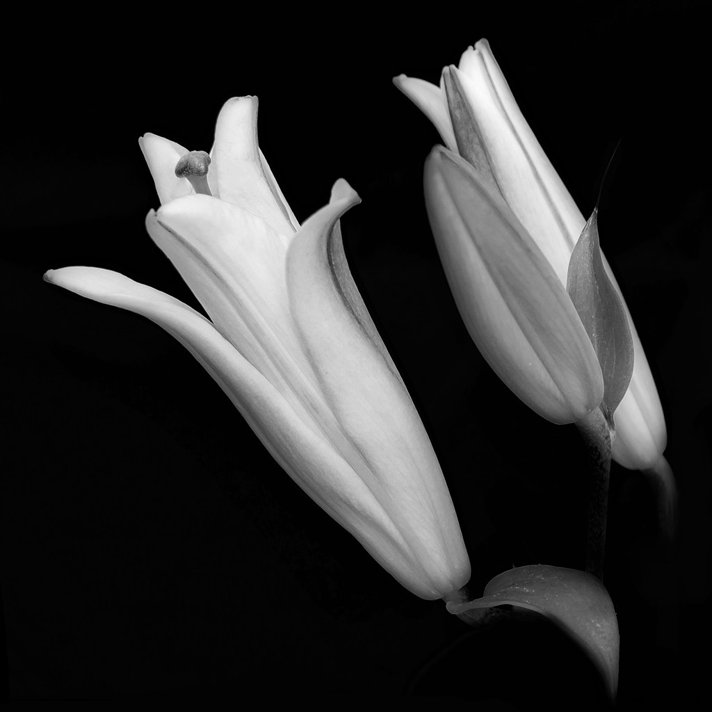 Lilies Out Of The Darkness And White Flower Serie Flickr