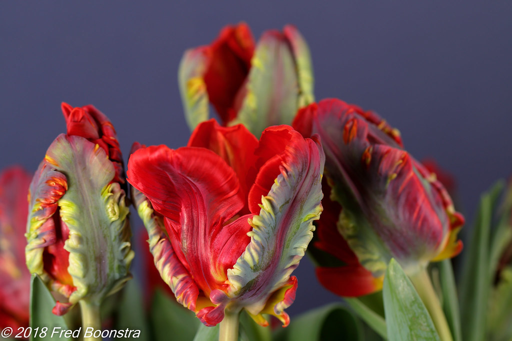 """In our livingroom, """"Parrot rococo tulips"""""""